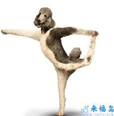 El perro sabe hacer yoga también.