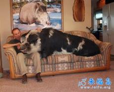 我家有猪初长成