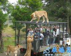 去个动物园还被狮子给参观了