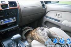 急刹车的时候没有系安全带……