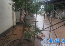 四川洪災中驚人的一幕:豬上樹了!!!男人的話可以相信了……