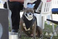 戴上了这个口罩之后,狗狗霸气不少
