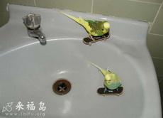鹦鹉滑板手