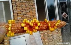 打算拿这个玉米去表白,你说有戏吗?