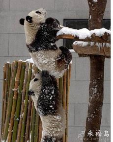 互相帮助的大熊猫