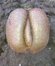 惊呆了,竟有如此形状猕猴桃
