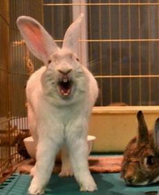 打哈欠的兔子有点吓人