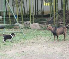 一只负责任的牧羊犬!