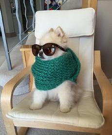惊奇的发现,给汪星人戴上太阳镜打上围巾后会变帅哦