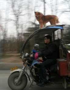 说走咱就走呀,开着三轮遛着狗