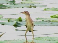 """无聊时你就看看这种怪鸟""""黄苇鳽"""",包你一秒被逗乐,堪称史上最丑的长腿欧巴"""