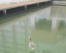 此刻鸭子懵逼了!