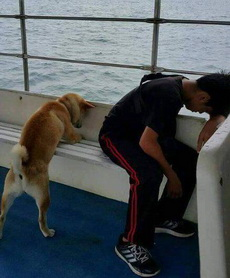柴犬宝宝第一次坐船,晕船了