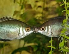 这两条鱼肯定是初吻