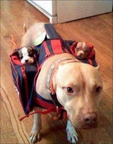 狗狗也有育儿袋