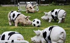 國豬們在踢球