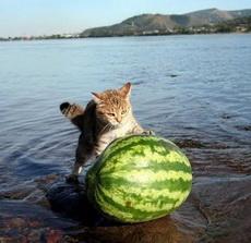 cat pushing a watermelon