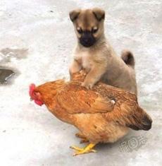 Dog seizes the chicken