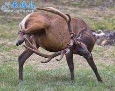 公鹿有時也會自己解決生理問題