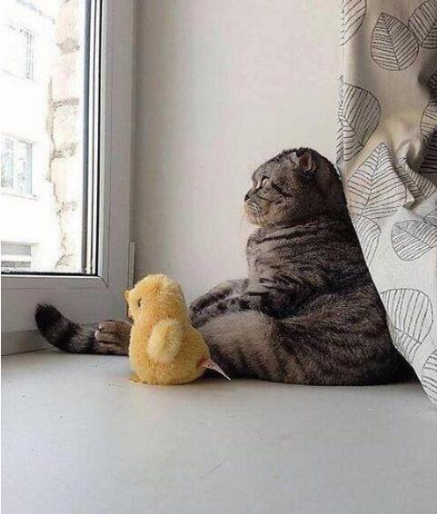 喵星人每天的日常,陪着它的小黄鸭看看外面的世界[动物图片]