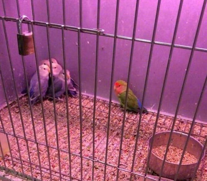 推主家养了几只雄性鹦鹉,经常打架,为了解决这个问题他上网询问专家,专家让他去买一只雌鹦鹉放进了笼子