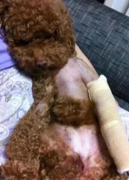 家里的狗受了伤,本该难过,但是一见到它我就憋不住想笑[动物图片]