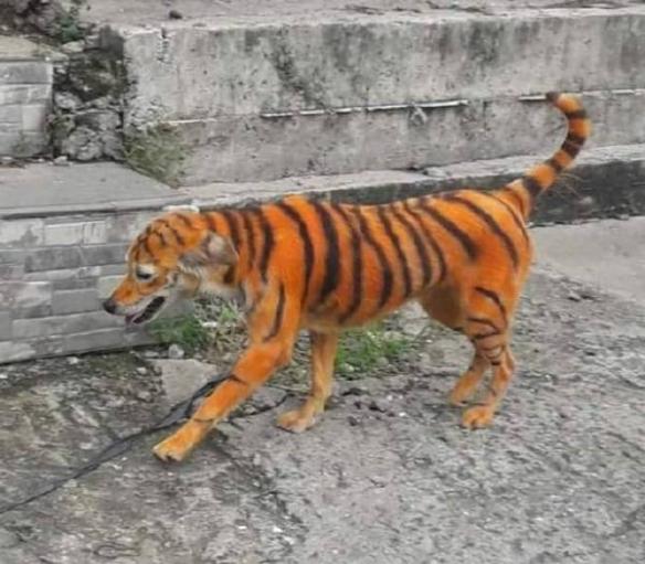 村名舉報田里發現老虎